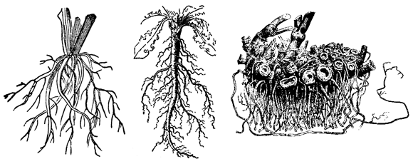 根(racine)/直根(pivotante)+側根(radicle)/地下茎(rhizome)